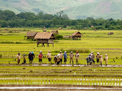 luang-namtha-rice-fields